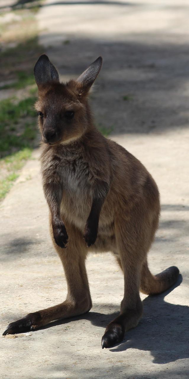 A young kangaroo.