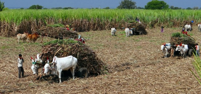 Sugarcane-Cultivation-and-Production-Statistics