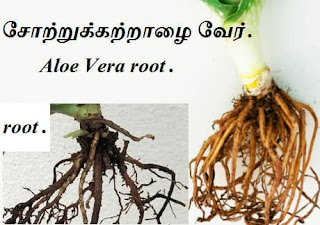 aloe vera root