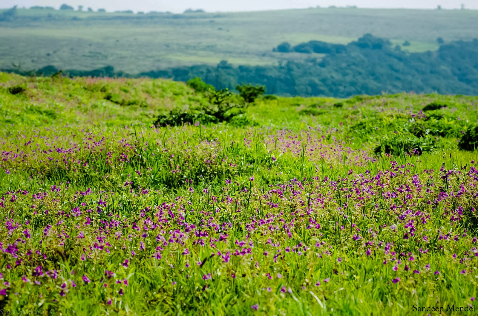 KAAS: Our very own 'Valley of flowers'