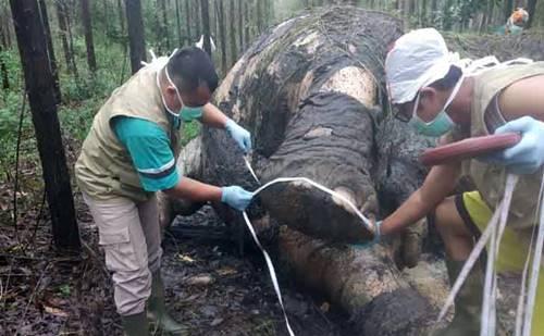Sadis..!!! Pemburu Penggal Kepala Gajah 40 Tahun, Belalai dan Gadingnya Dipotong