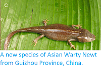 http://sciencythoughts.blogspot.co.uk/2012/10/a-new-species-of-asian-warty-newt-from.html