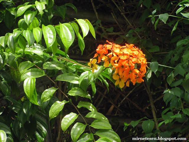 Ботанический сад Сингапура - баухиния кокиана