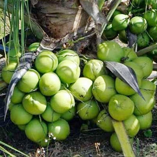 bibit-kelapa-entog-murah.jpg
