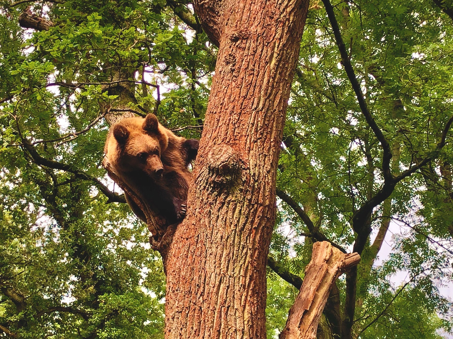 a large brown bear in a tree in bear wood at wild place project