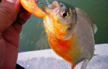 umpan ikan bawal alami