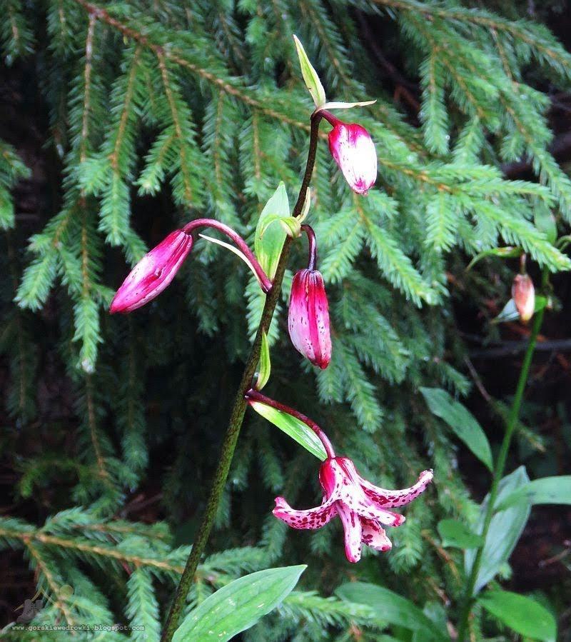 Lilia złotogłów (Lilium martagon L.)