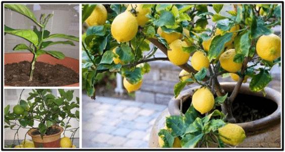 Cómo crecer un árbol de limón orgánico desde la Semilla fácilmente en casa