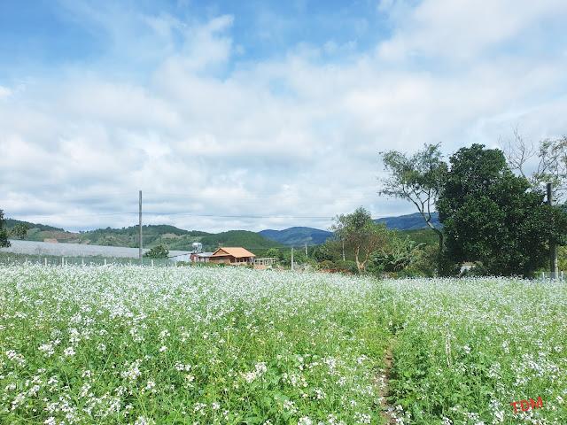 vườn hoa cải trắng