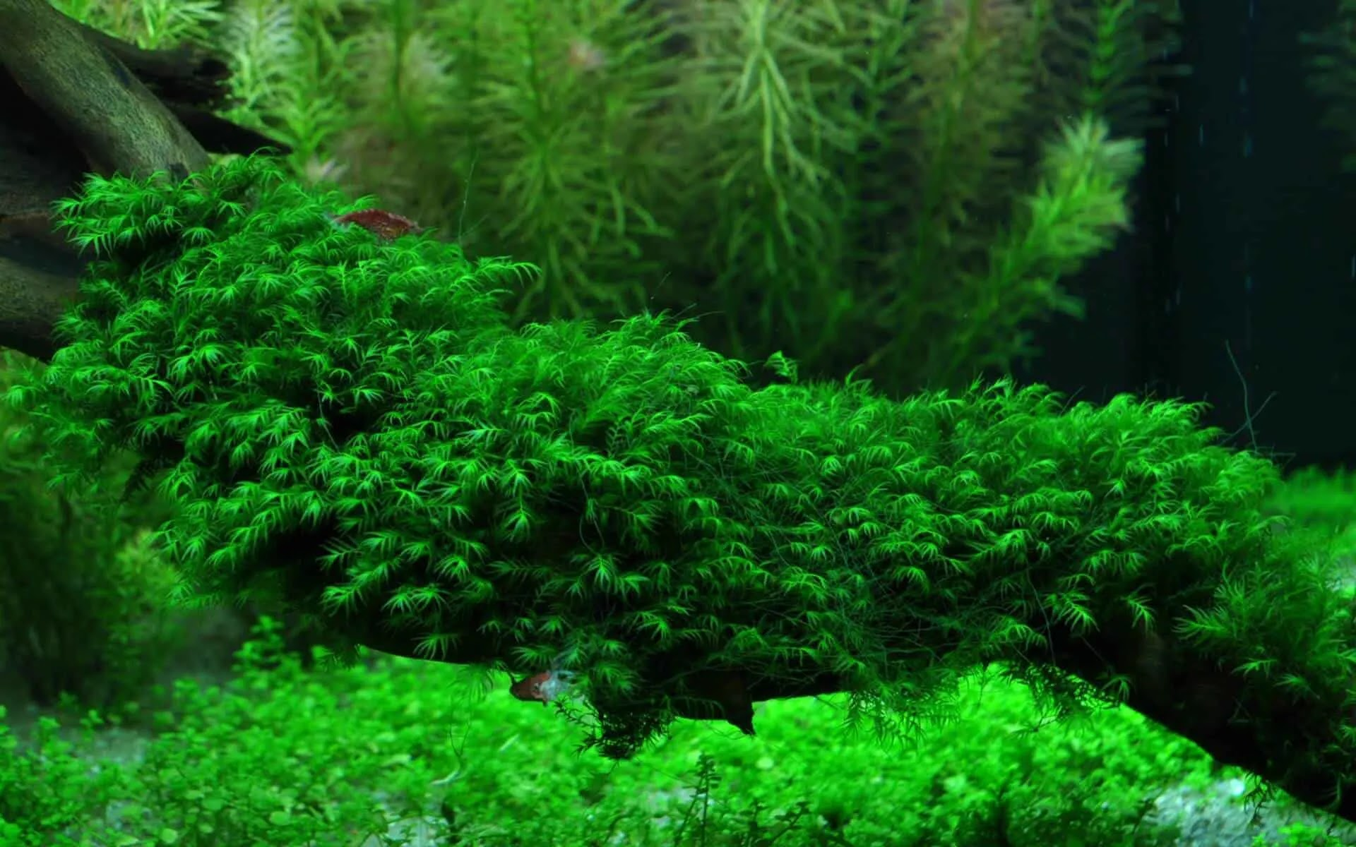 Mengenal Jenis Tanaman Moss untuk Aquascape