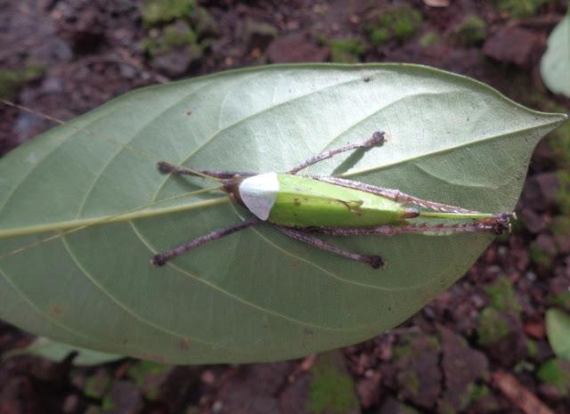 Belalang daun sayap hijau putih