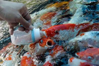 Pakan Ikan Koi