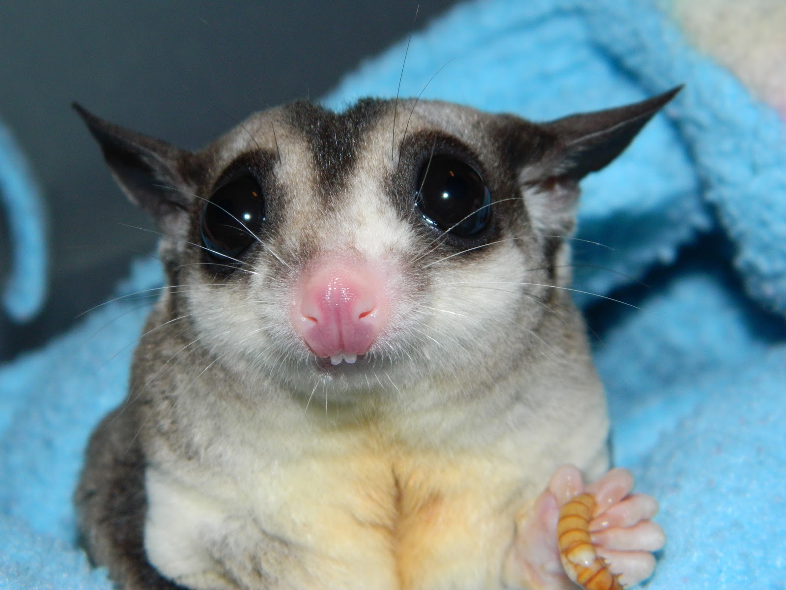 The Compulsive Ramblings Of A Philotherian Sugar Glider