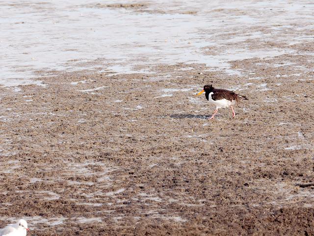 Ein Austernfischer im Schlick (300mm, f/5, 1/640sek., ISO200)