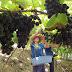 Clima adequado garante boa qualidade e produtividade de uvas e excelente safra