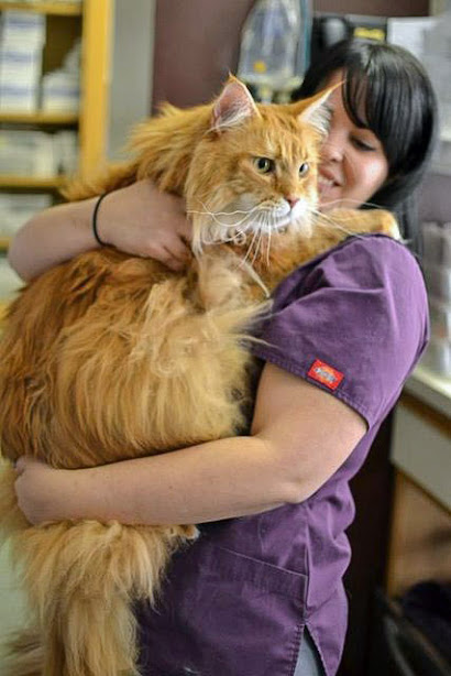 Large, loved Maine Coon