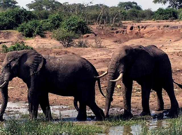 słonie Afryka Uganda