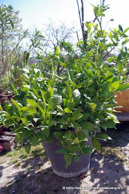 Agrume : citronnier des 4 saisons
