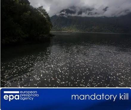 Περιβαλλοντική καταστροφή στη Χιλή : Πάνω από 5,5 τόνοι σολομού νεκροί λόγω της άνθισης μικροφυκιών που αφήνουν τα ψάρια χωρίς οξυγόνο