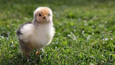 Begini Cara Merawat Anak Ayam Yang Baru Menetas