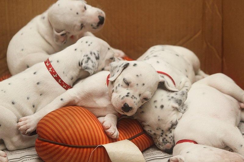 What age to dalmatians get spots