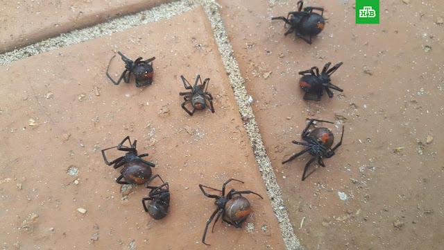 В Австралии выпал дождь из ядовитых пауков: фото
