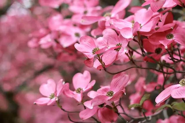 Spring Dogwood Flowers