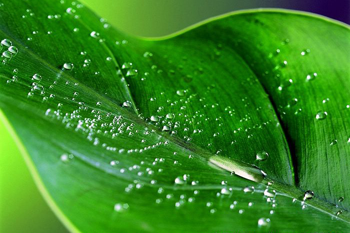 Pengukuran Transpirasi dengan cara Penimbangan (Laporan Praktikum)