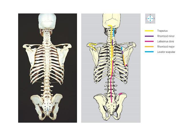 Attachments of trapezius, rhomboid major and minor, levator scapulae and latissimus dorsi.