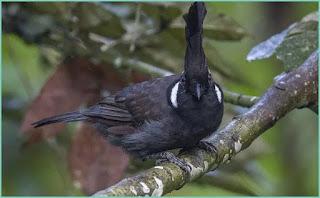 Perbedaan burung cililin coklat dan hitam ini bisa dibedakan dari habitat Perbedaan Burung Cililin Coklat dan Hitam