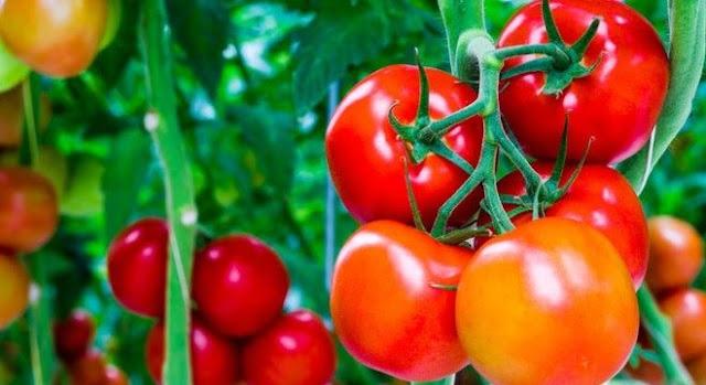 Làn da đẹp hơn nhờ công dụng tuyệt vời cà chua