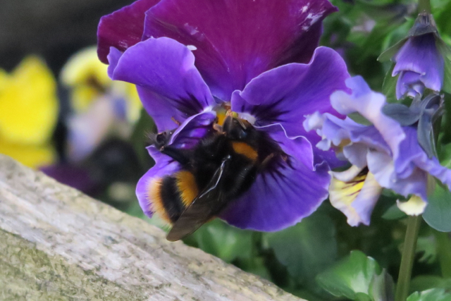 Bumblebee foraging on purple pansy