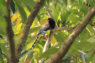 內溝常見的長尾山娘-臺灣藍鵲
