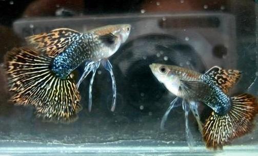 Ikan Guppy Dragon Jantan - Cara Budidaya Ikan