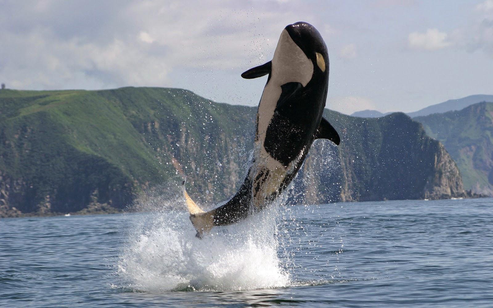 Orka springt hoog op uit het water