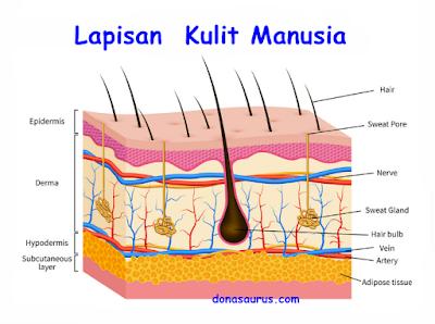 lapisan kulit manusia