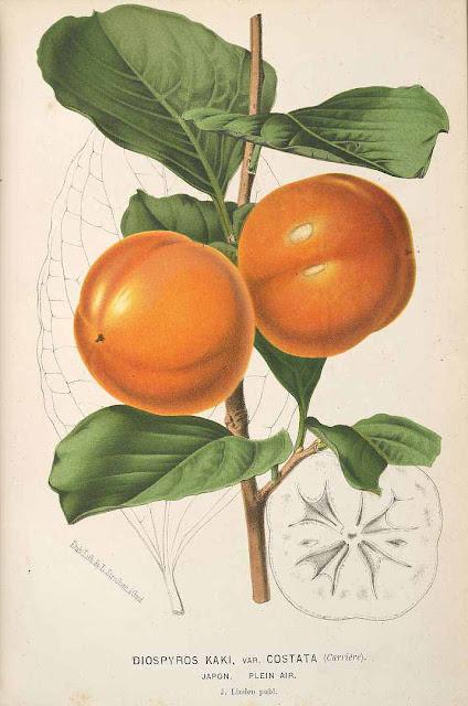 Kaki, persymona, inaczej hurma wschodnia (Diospyros kaki) persimmon, uprawa, występowanie, pochodzenie hodowla, siew z nasion, uprawa na zewnątrz w ogrodzie w Polsce, smak, kwitnienie, owocowanie, opis, jak wygląda kaki, historia, nazwa jak poprawnie nzywać persymonę. Zdjęcia.
