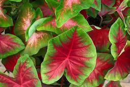 Keladi Hias Akan Berwarna Merah Merona, Ciamik, dan Sering Tumbuh Tunas, Terapkan Cara Ini!