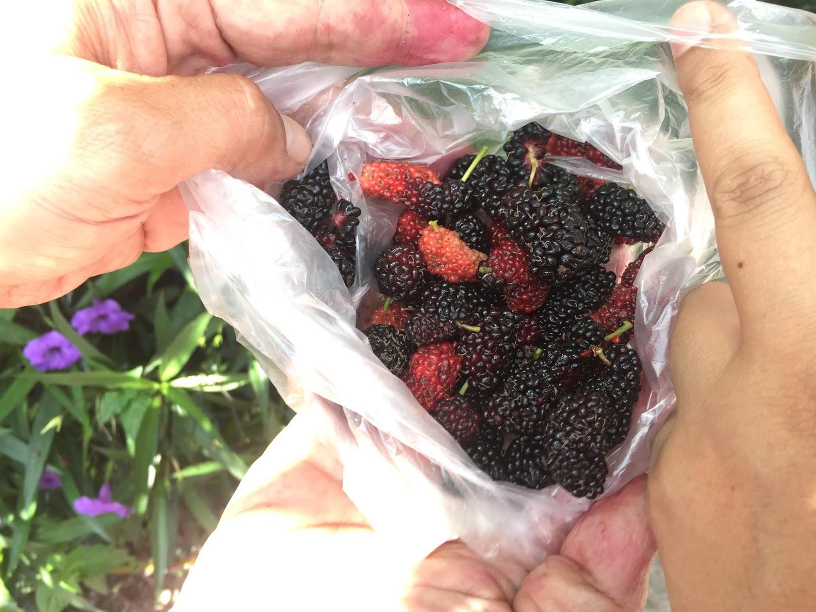 puncak titiwangsa, mulbery, khasiat mulbery, info kesihatan