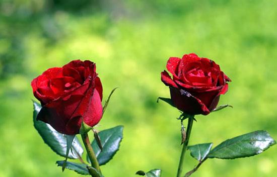 http://ghan-noy.blogspot.com/2017/01/manfaat-bunga-mawar-bagi-kesehatan-dan.html