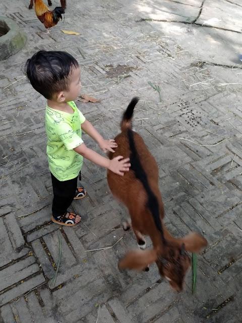 gambar anak kecil bergambar dengan kambing di farm in the city petting zoo
