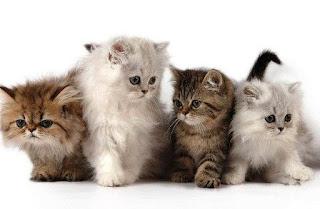 Jenis-jenis Kucing Persia yang Biasa Dipelihara di Indonesia
