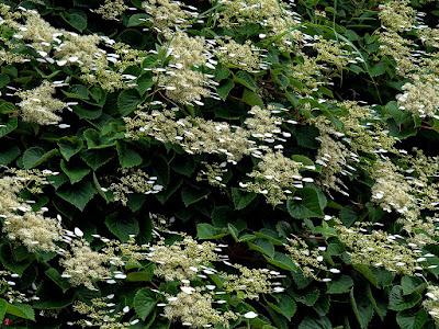 Iwagarami (Schizophragma hydrangeoides) flowers: Tokei-ji