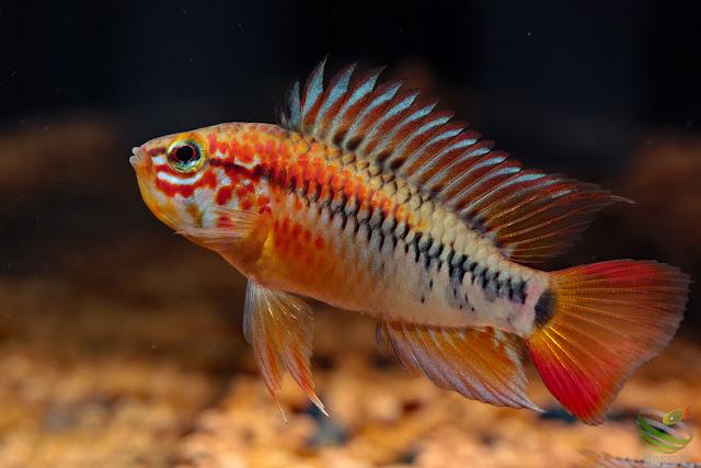 A. macmasteri / Wilhelm breed