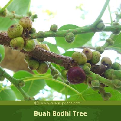 Buah Bodhi Tree