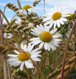 flores de camomila o manzanilla