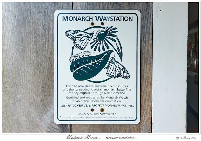 Wachusett Meadow: ... monarch waystation...