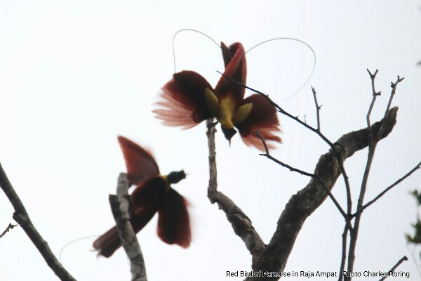 Red Bird of Paradise (Paradisaea rubra) in Raja Ampat