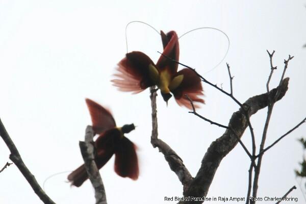 Red Bird of Paradise (Paradisaea rubra) in Raja Ampat