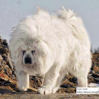 Lion Head, Looks Like Lion, Expensive Dog Breed. Tibetan Mastiff